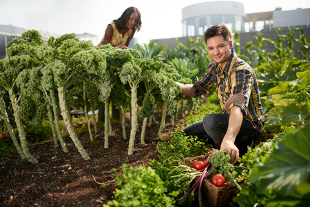 tending: Gardeners tending to organic crops and picking up fresh kale from their small business rooftop garden