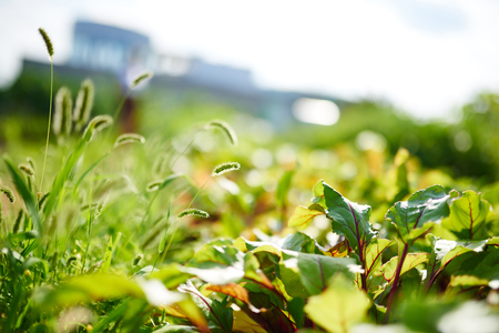 Shallow depth of field background of a vegetable garden in the sun 版權商用圖片