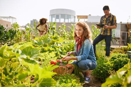 Friendly team harvesting fresh vegetables from the rooftop greenhouse garden and planning harvest season on a digital tablet Banco de Imagens - 75139372
