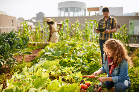 Friendly team harvesting fresh vegetables from the rooftop greenhouse garden and planning harvest season on a digital tablet Stok Fotoğraf - 75139366