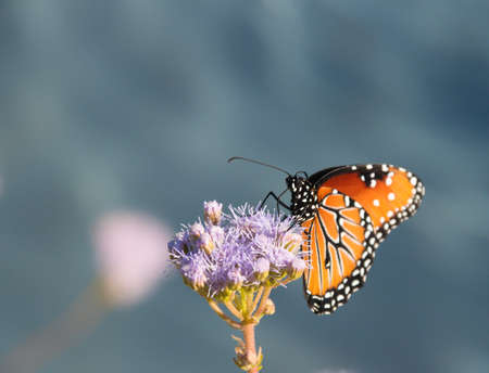 focus on foreground: Monarch butterfly on purple flower looking at you Stock Photo