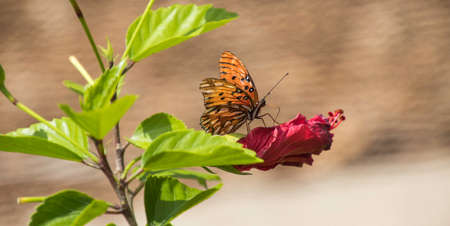 Gulf Fritillary Butterfly on a Hibiscus flower