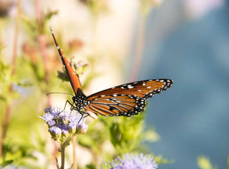 Monarch butterfly on purple flower with nature background