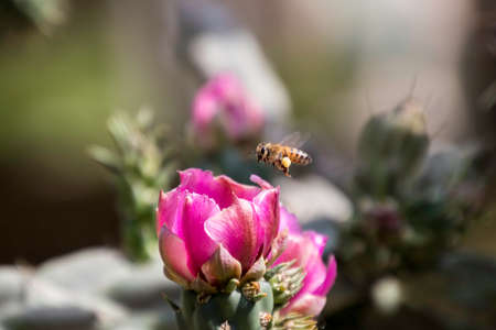 Closeup of one Honey Bee with pollen on its leg flying above a pink Cholla cactus flower