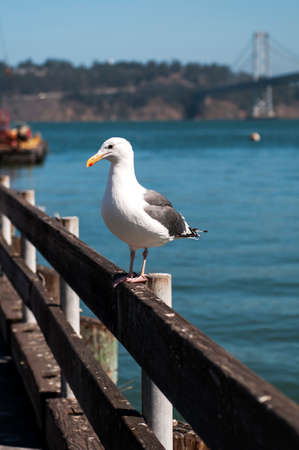Seagull on pier in San Francisco