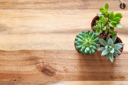 Beautiful green succulents on a wooden background.