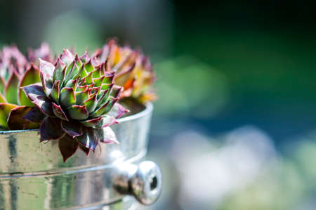 Succulents in silver pot with bokeh background Stock Photo