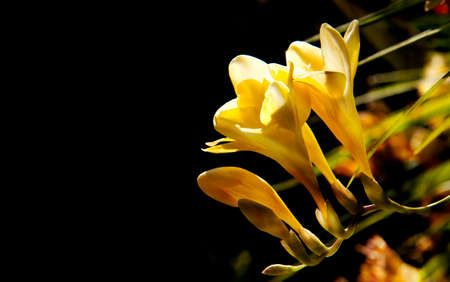 Beautiful yellow scented Freesia with a dark background