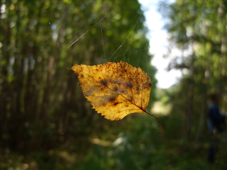 birch leaf: The yellow birch leaf lit with the sun, hanging on a web in the wood