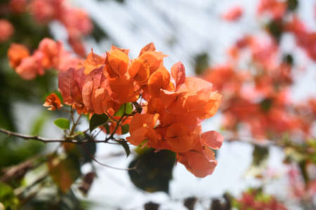 Branches of blooming orange bougainvillea, illuminated by the sun, against the sky Stock fotó