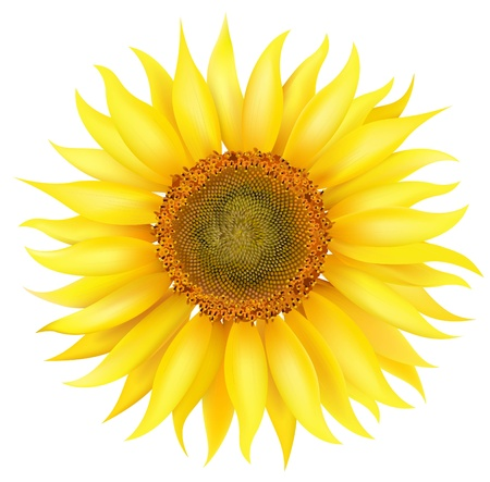 Vector Sunflower Stock Photo