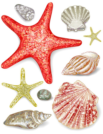 seashell: Set of seashells. Vector beautiful illustration, EPS 8
