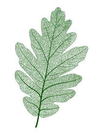 Beautiful oak leaf isolated. Vector realistic illustration.