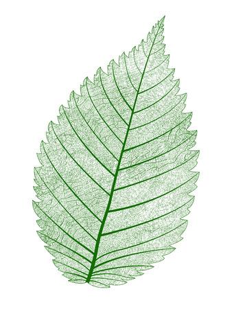 venation: Vector macro realistic leaf isolated. Beautiful illustration.