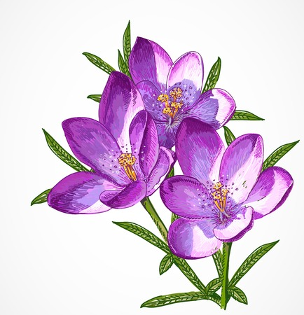close: Vector Crocus Spring Flowers. Beautiful illustration for your design Illustration