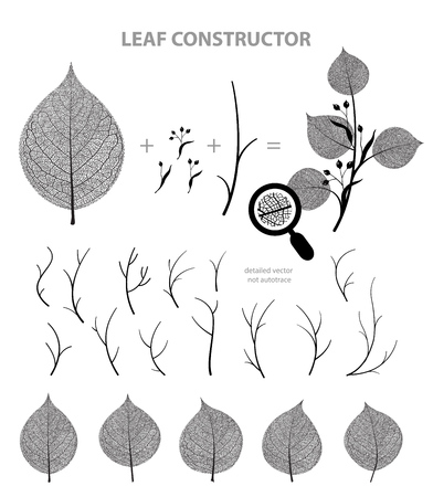 Linden leaf and branch , fall, spring, summer. Detailed vector macro veins illustration, not autotrace, constructor 일러스트