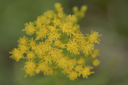 Yellow inflorescence Imagens