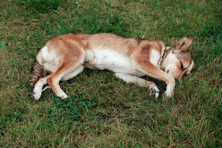 Cute and peaceful dog sleeping in the green grass on a meadow. Adorable tired animal resting outside during summer day. Pet adoption concept. Take young puppy home, love and care about new friend.