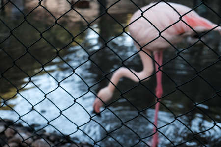 Flamingo standing on one leg near a pond or lake in summer. Wild animals in captivity. Pink flamingo kept prisoner behind a metal wire fence. Beautiful wildlife captive at a zoo. Wonderful nature. 免版税图像