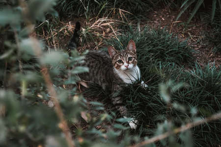 Playful gray cat in the grass. Kitty playing hide and seek in the garden. Take lonely animal home, adoption concept. Cute kitty in the moody park surrounded by green bushes. Surprised startled face.