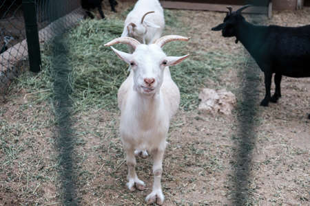 White funny happy goat smiling behind a fence in a zoo or on a farm. Breeding livestock for milk and cheese. Domestic animals held captive in a barn. Young goats in a rural countryside environment. 免版税图像