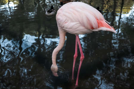 Beautiful pink and white flamingo standing and drinking water at a lake or outdoor pond. Wild animals kept prisoners behind bars and metal wire fence in captivity. Captive tropical bird at a zoo.
