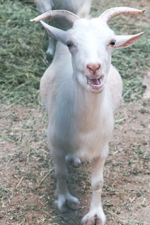 Funny white curious goat bleating behind a fence in a zoo or on a farm. Breeding livestock for milk and cheese. Domestic animals held captive in a barn. Young goats in a rural countryside. 免版税图像