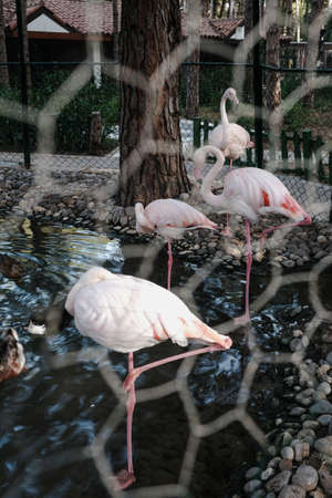 Wild pink and white flamingo in the zoo kept prisoners in a metal wire cage. Wild animals in captivity. Unethical behavior with captive wildlife. One-legged birds standing near a pond or lake outdoor.
