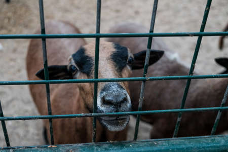 Cute looking goat or sheep in a cage asking for food. Caged captive animal held prisoner in a zoo or on a farm. Young brown domestic goat closed in barn behind a fence. Breeding for milk and cheese 免版税图像