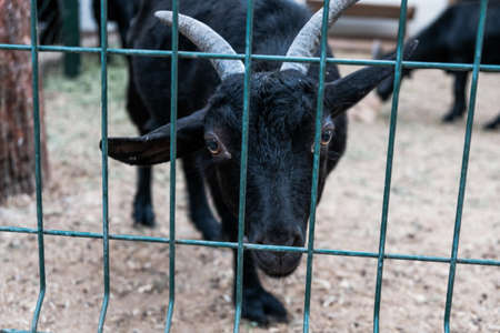 Sad curious black goat looking from behind the fence in a zoo. Funny domesticated animal on a farm. Hungry young goat with desperate eyes asking for food. Caged prisoner with horns behind bars.