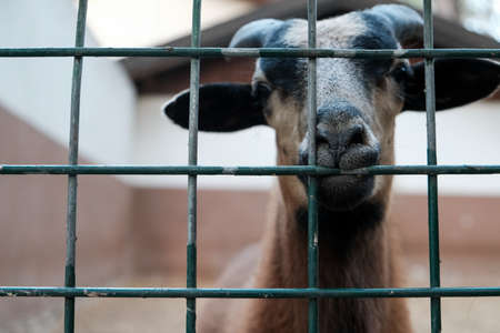 Portrait of brown goat with horns looking out from a cage. Domestic animal in captivity. Unhappy hungry prisoner in a zoo asking for food. Sad captive goat in a barn behind bars on a livestock farm. 免版税图像