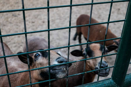 Cute looking goats smiling in a cage asking for food. Caged captive animals held prisoners in a zoo or on a farm. Group of young brown domestic goat species in barn behind a fence. Breeding for milk 免版税图像