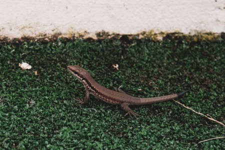 Cute little lizard sitting on green grass golf course. Wildlife in natural environment. Exotic reptile in outdoor field ground or meadow. Beautiful skin texture with detail and black tail, side view. 免版税图像