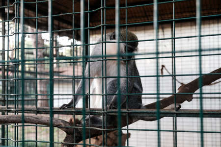 Sad monkey held captive in a cage in a zoological garden. Looking at tourists and visitors with sad eyes. Keeping wild animals in captivity for fun and entertainment in tourism industry. Outdoor zoo.