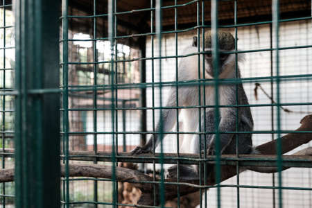 Sad monkey looking at tourists and visitors with sad eyes. Held captive in a cage in a zoological garden. Keeping wild animals in captivity for fun and entertainment in tourism industry. Outdoor zoo.