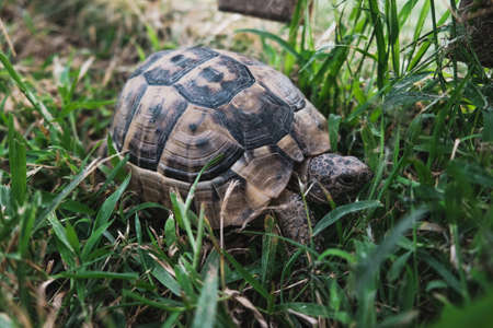Beautiful turtle with textured shell unnoticeable in bright green grass. Reptile walking or crawling on a park ground. Serious face expression, selective focus. Tortoise resting in the wild forest.