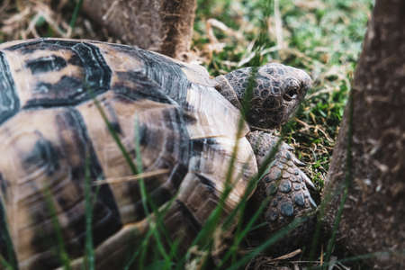 Beautiful turtle with strong textured shell in grass. Sad tortoise looking through a fence to the future or maybe for quarantine concept. Reptile walking or crawling on a park ground. Close up view.