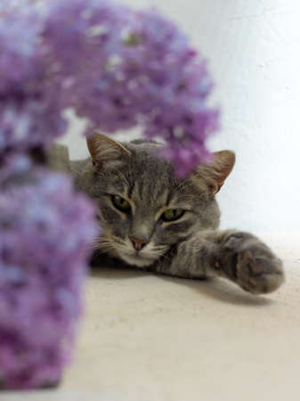 gray cat lies on a white background with lilacs