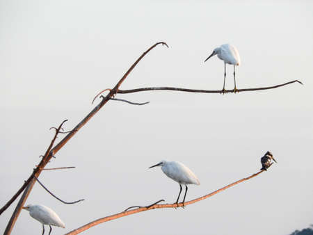 and egrets: Egrets in a tree
