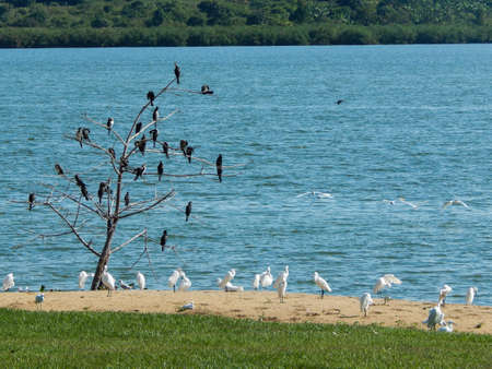 and egrets: Egrets and kingfishers along the beach of a lake
