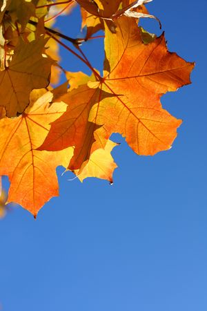 Maple leaves against blue sky photo