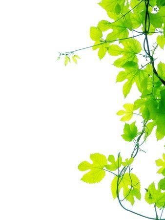 vid: Hojas de vid sobre fondo blanco liso