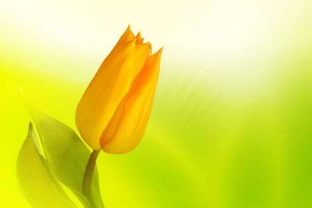 ad: Beautiful yellow tulip on spring background