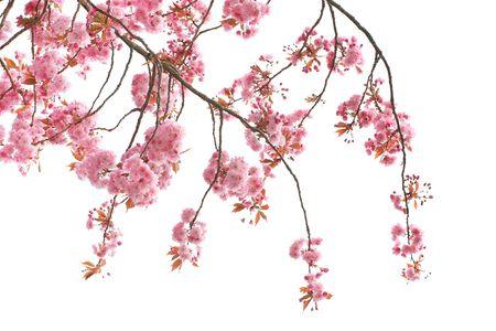 fleur de cerisier: Cherry Blossom Tree Close up Banque d'images