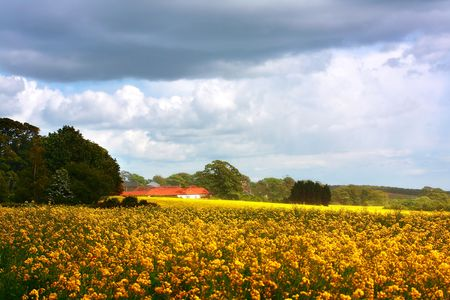 Fields of rape in springtime photo