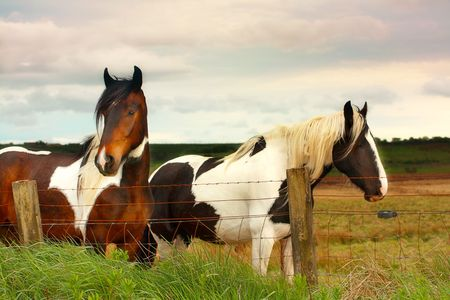 Beautiful horses in scottish fields close up photo