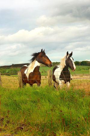 Beautiful horses in scottish fields close up photo