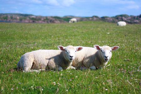 Iona, Scotish island , landscape with sheep photo