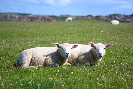 scotish: Iona, Scotish island , landscape with sheep Stock Photo