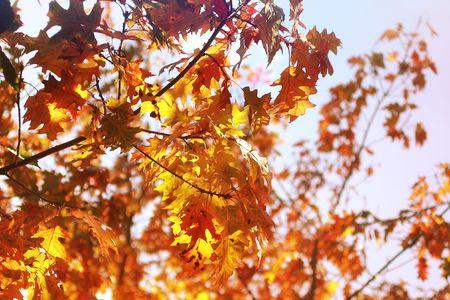 Beautiful oak leaves against blue sky photo